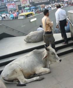 Kühe vor Metroeingang in Delhi