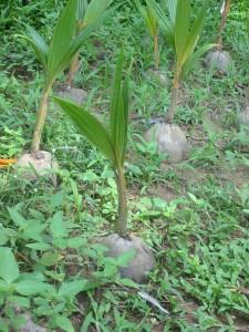 Kokospalme Schößling