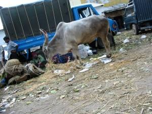 indische Kuh